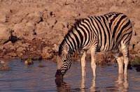 Zebra Driking Water