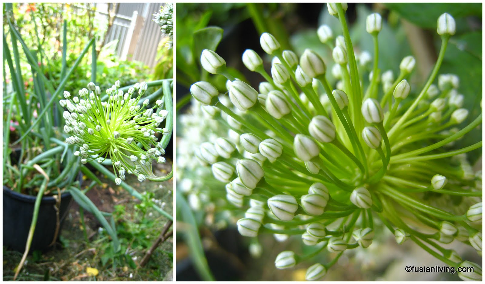 Easy way to grow spring onions grow your own veg blog gardening l spring onions flowering in december r pretty spring onion flowers mightylinksfo