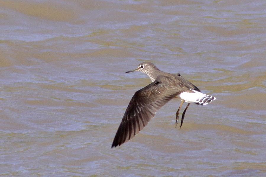 Green sandpiper flight - photo#17