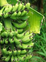 Bananas growing the the HBC garden
