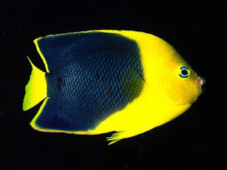 Angel Fish wallpaper