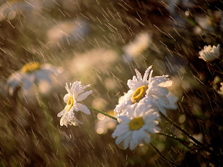 Wet Daisies wallpaper