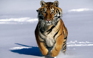 Tiger in Snow wallpaper