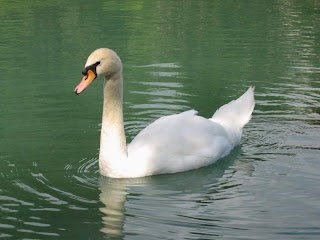 White Duck wallpaper