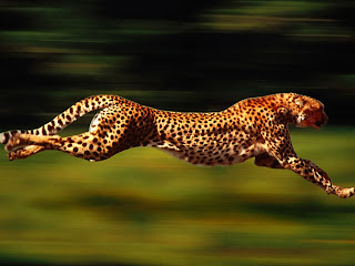 Speed Cheetah wallpaper