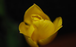 Yelow Tulip Flower wallpaper and photo