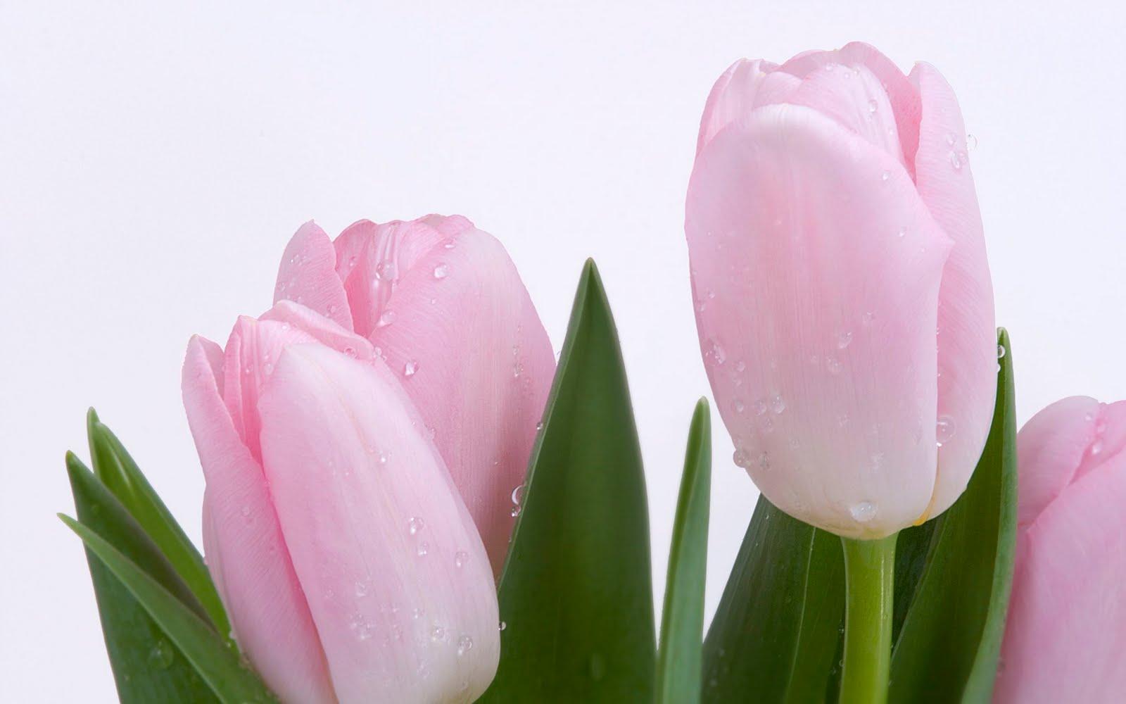 http://1.bp.blogspot.com/_Ym3du2sG3R4/TH6qTPEcpAI/AAAAAAAACzY/Ut0fxklIi1s/s1600/Pink-Tulips%252B-wallpaper.jpg