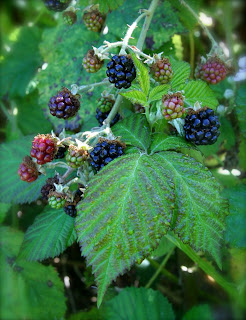 Wild Blackberry Leaves Nature remains.: Olymp...