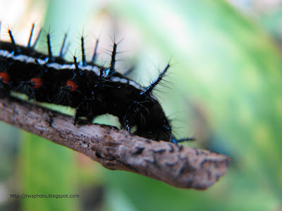 Black caterpillar with white stripes and blue spikes - Series #15