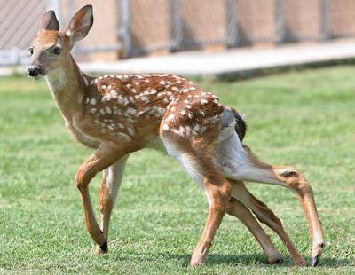photo of six legged deer
