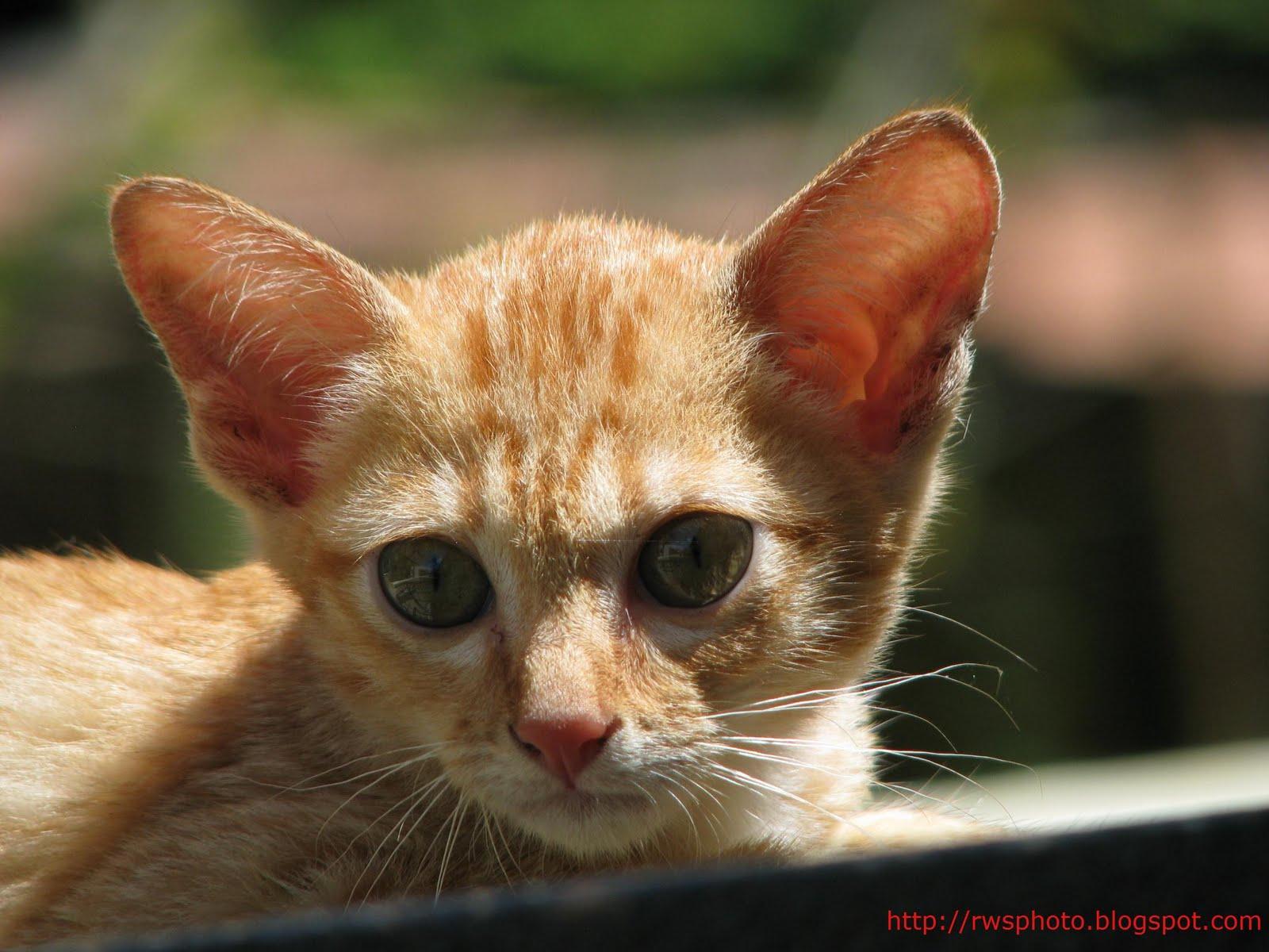 Orange Kitten - RWS Photo Blog - Splendour pictures of Borneo