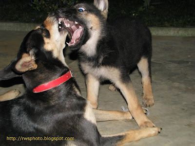 Kelpie and German Shepperd Puppy Faceoff