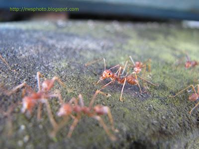 Borneo Red Ants