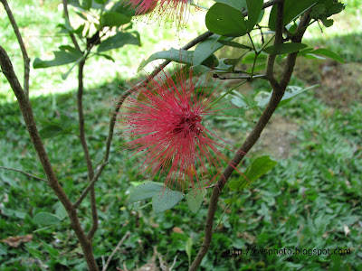 Powder Puff Flower - Sensitive Briar