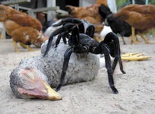 Chicken-eating-spider.jpg