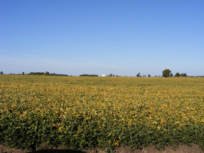 Ripening Soy bean Field