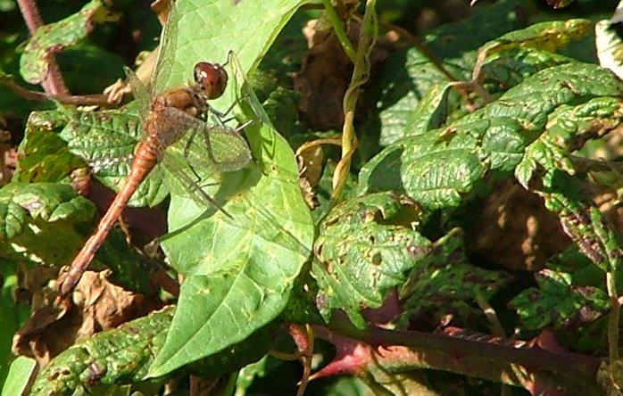 [Dragonfly1.jpg]