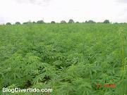 Cannabis sativa («cáñamo», «marihuana» o «ganjah») es una especie herbácea .