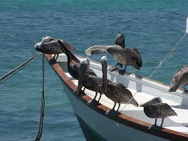Les nombreux pelicans de Gran Roque