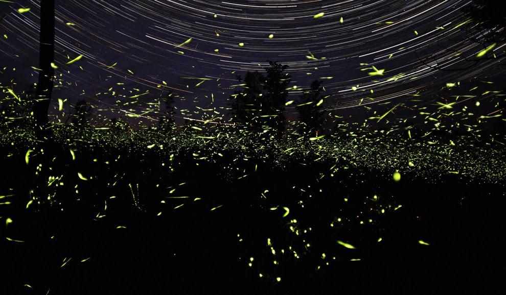 Fireflies Or Lightning Bugs