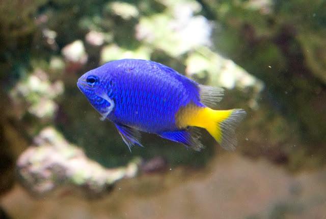 Aquarium: Yellowtail Blue Damselfish