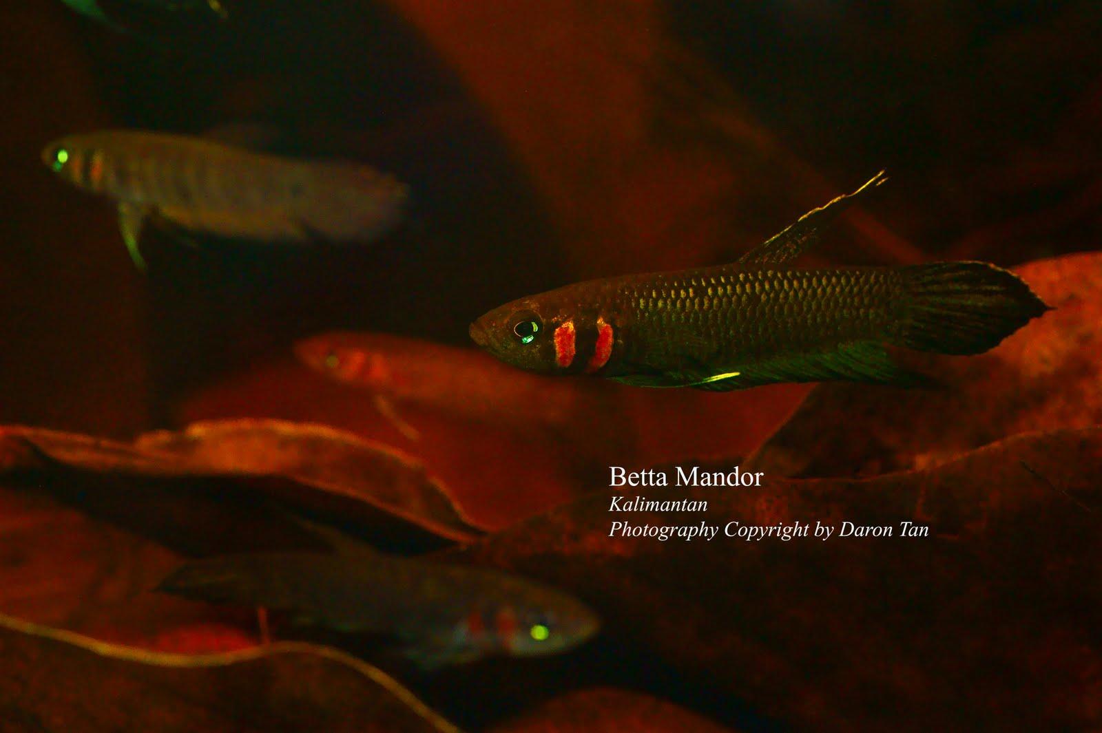 Wild Betta Fish