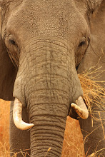 Elefante africano