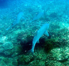Tiburón Puntas blancas