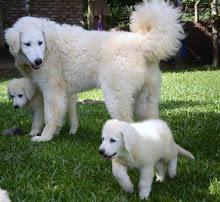 Himes (7 meses) e filhotes da Helga com 2 meses