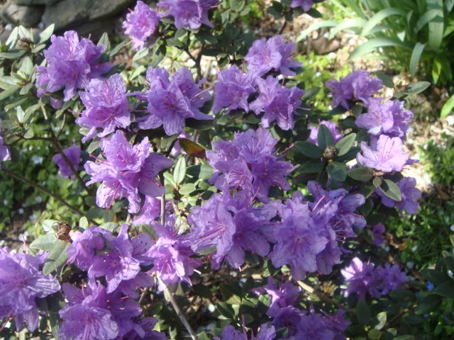 purple azalea rhododendron photo by oystergirl