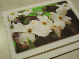 Dogwood blossoms, Photography by Jill M. Davis of Orange Cat Art