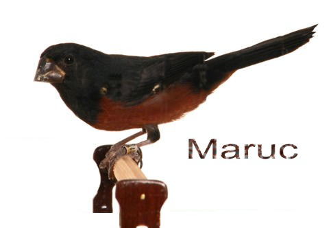 CURIÓ MARUC