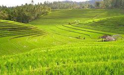 SAWAH YANG MENGHIJAU MERUPAKAN KETAHANAN PANGAN BAGI INDONESIA