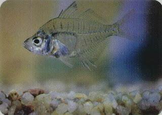 Glass Fish – Ambassis Lala