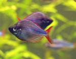 Melanotaenia Praecox - Rainbow Fish