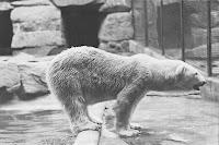 Polar Bear National Zoo