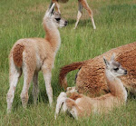 Los Guanacos somos lindos!