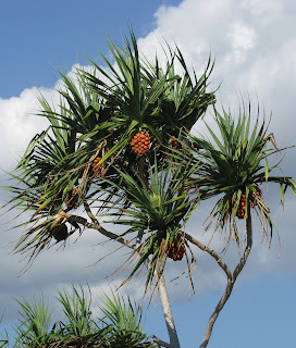 A fruiting Pandanus tree on Nusa Lembongan