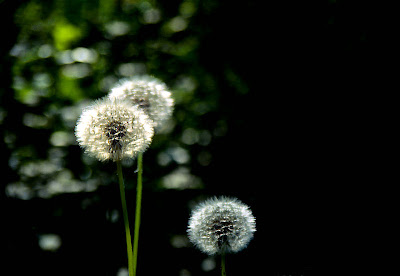 Dandelions by Roberto Pagani