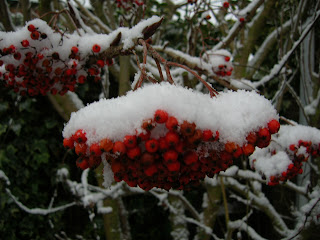 snow on sorbus berries