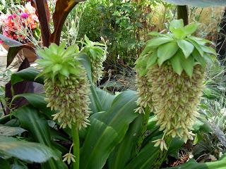 eucomis pineapple plant