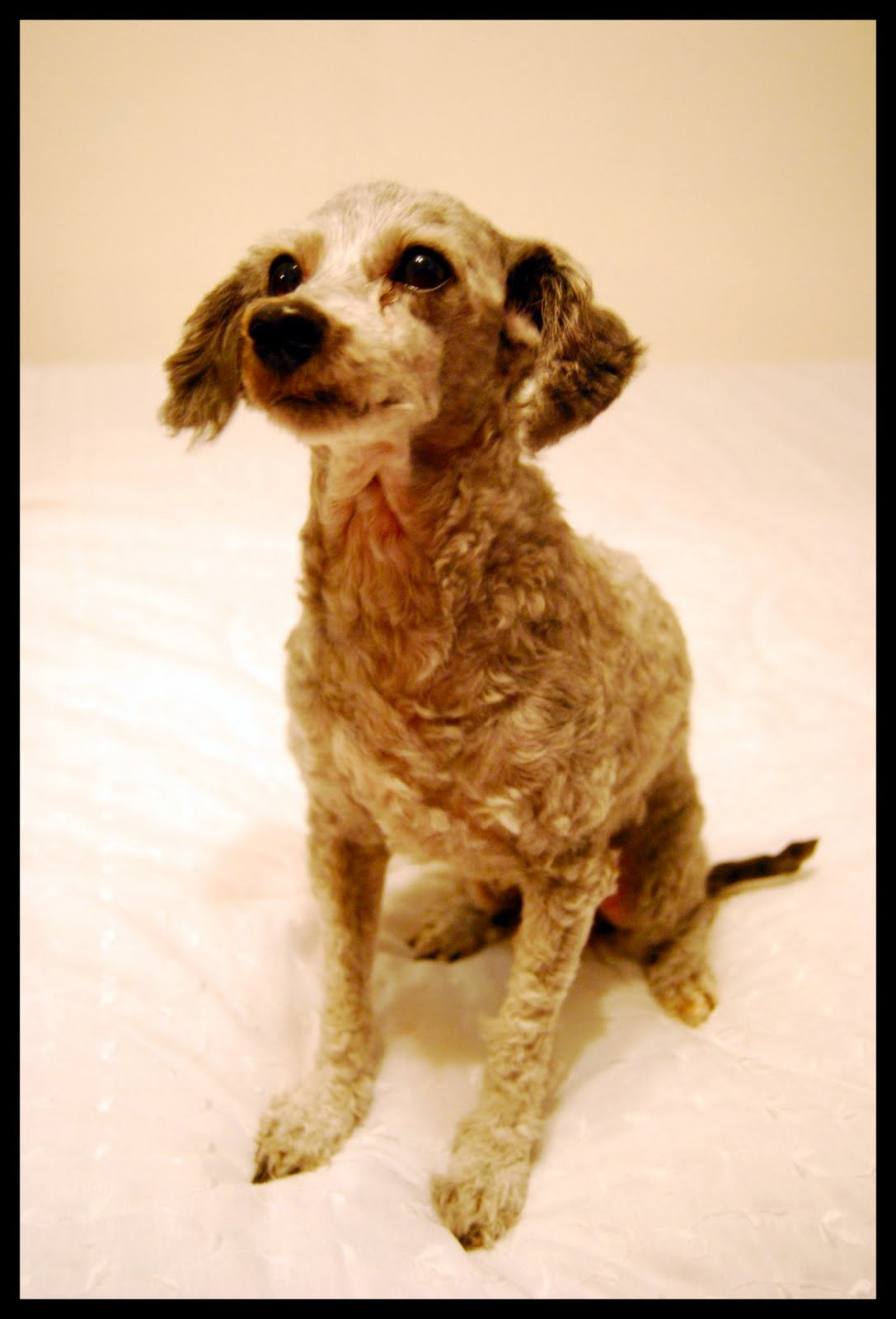 Displaying 20> Images For - Curly Haired Dogs...
