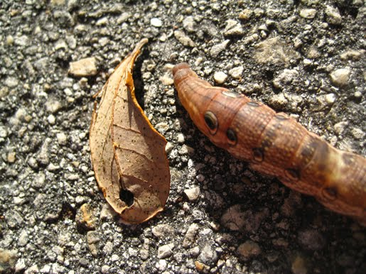 Brown Catepillar on the papersquid blog