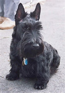 Scottish_Terrier