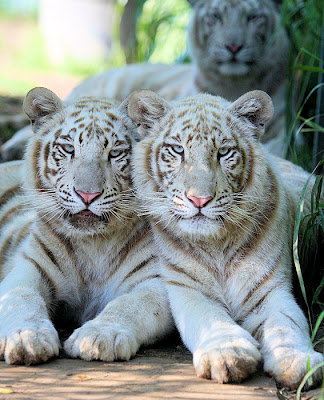 Pictures Of Tigers And Cubs. Tiger cubs adopted by dog