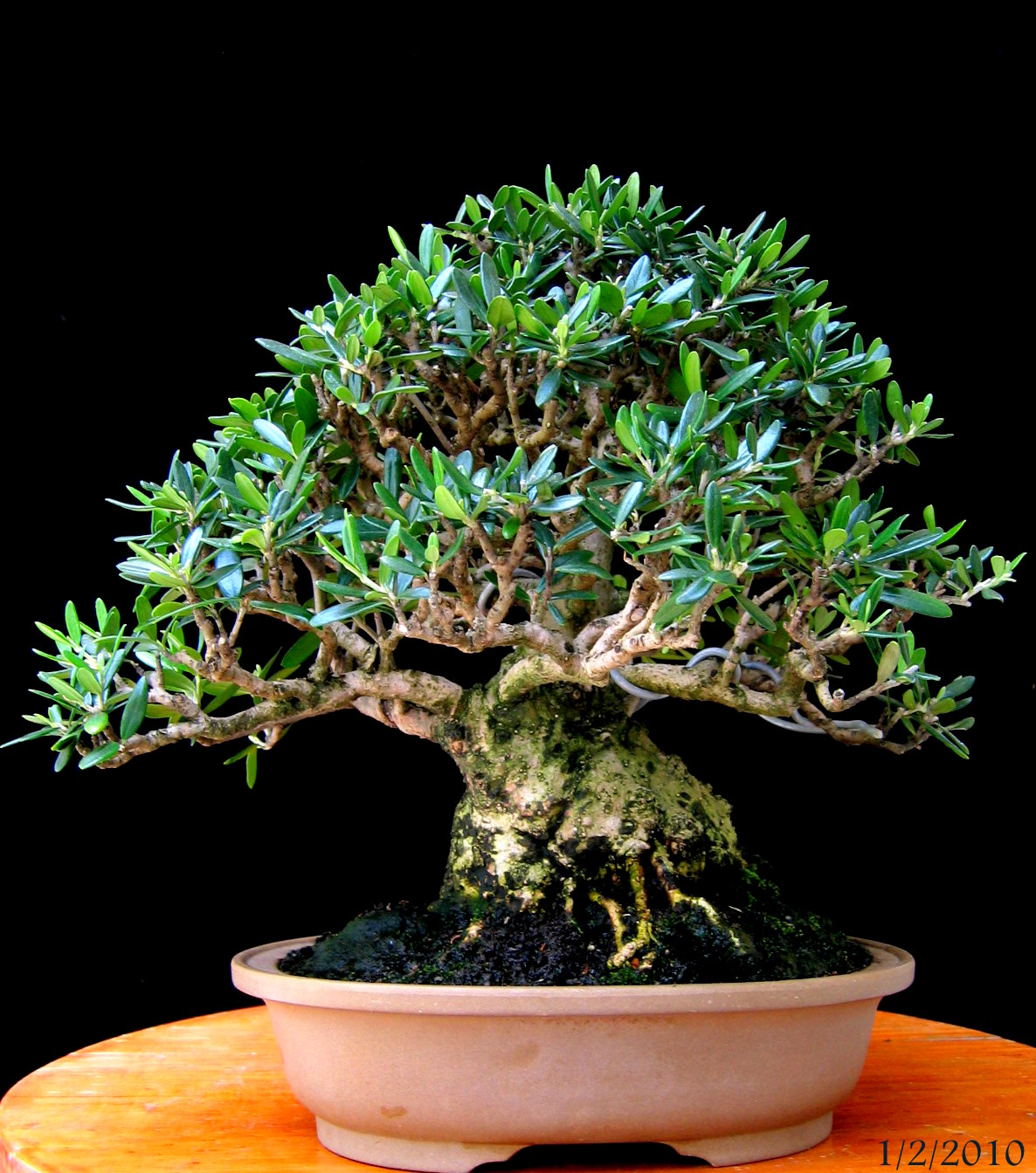 Newzealandteatreebonsai My First Wild Olive Bonsai