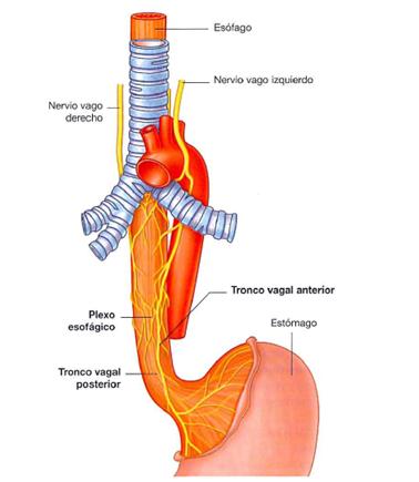 digestivouq: Mediastino posterior por Lina M. Portilla