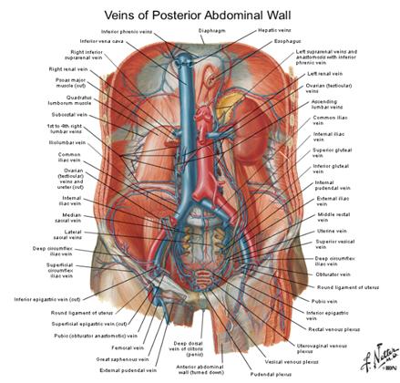 digestivouq: PARED ABDOMINAL POSTERIOR POR vlentina Ospina