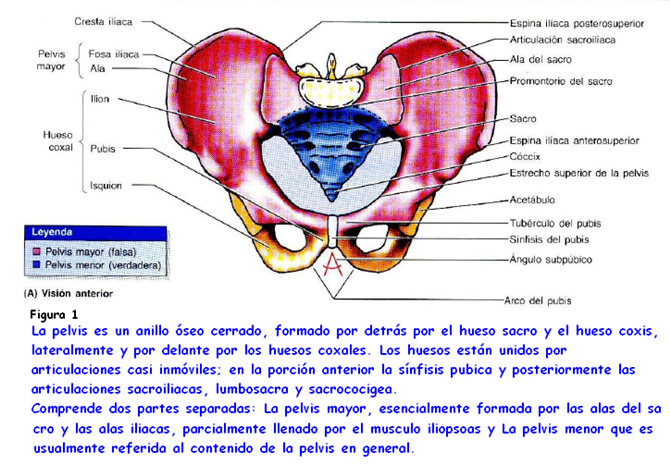 Anatomia: Pelvis por Diana M. Ayala