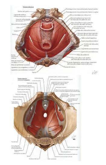 Anatomia: Músculos de la pelvis por Yeison Zarate